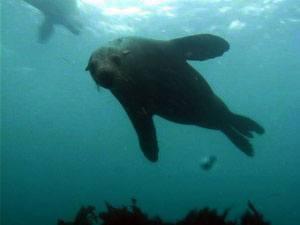 Dykkerrefleksen er staerk hos saeler