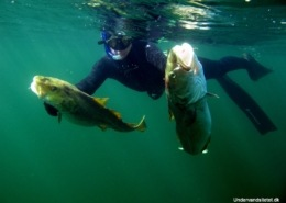 Undervandsjagt på vrag1 260x185 - Undervandsitetet - snorkling, undervandsjagt og fridykning