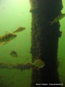 Aborre i Furesøen Morten Villadsen2 225x300 - Furesøen: Super fridykning nord for København