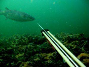 Fange multe med harpun1 - Harpunfiskeri - hvordan er reglerne?