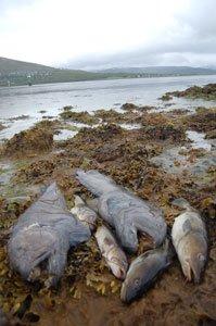 Uvjagt i Nordnorge. En flot fangst af havkatte og torsk .