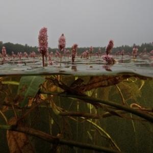 Undervandsfoto af Vandranunkel. Foto: Jesper Kikkenborg