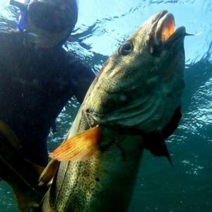 Stortorsk fra vrag på 15m dybde 300x300 - Undervandsitetet - snorkling, undervandsjagt og fridykning