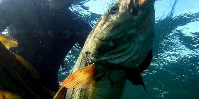 Harpun til undervandsjagt på store torsk