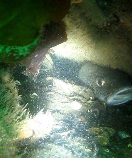 torsk vrag 450x540 - Undervandsitetet - snorkling, undervandsjagt og fridykning