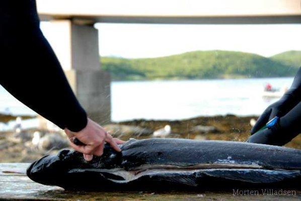 KON 0348 - Dykkerkniv til uv jagt
