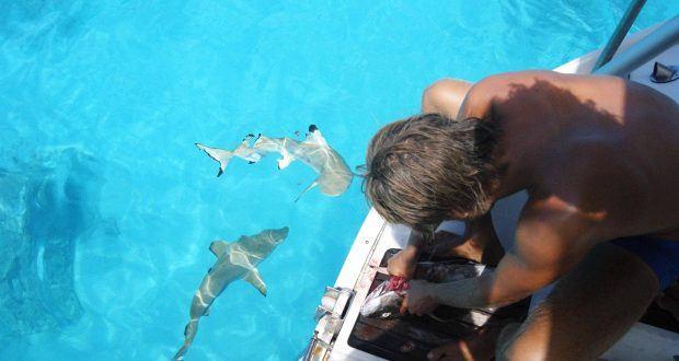 hajer i stillehavet