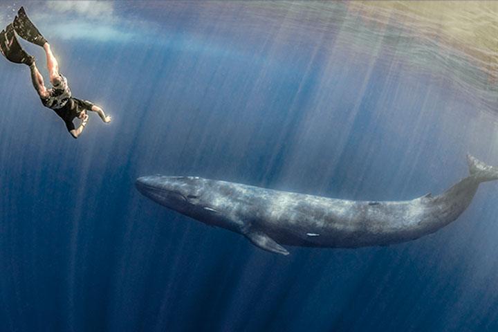 Fridykker med blaahval - Fridykning og snorkling med blåhvaler