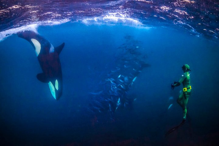 Fridykning med orca og bait ball - Snorkling med spækhuggere