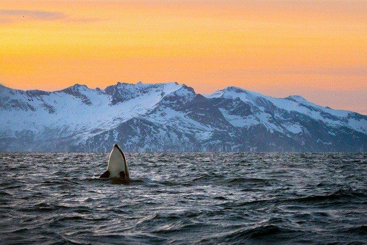 Orca kigger op af vandet - Snorkling med spækhuggere