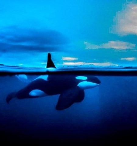 Orca med rygfinne over vandet e1531145006973 450x480 - Dykkerrejser - snorkle, dykke og rejse