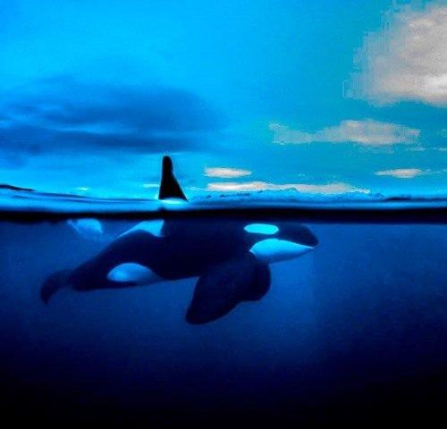Orca med rygfinne over vandet e1531145006973 500x480 - Snorkling med spækhuggere