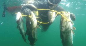 2019 06 01 1743 300x160 - Undervandsjagt ulykker, lungeskader, reverse block, hajer og fjæsing - 45