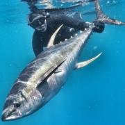 G0060638 01 1 180x180 - Uv jagt i Cape Town 2/3 - de STORE gulfinnede tun