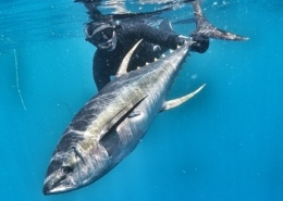 G0060638 01 1 260x185 - Uv-jagt i Sydafrika 1/3 - de langfinnede tun