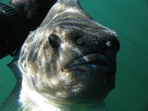 IMG 6174 300x225 - Undervandsitetet - snorkling, undervandsjagt og fridykning